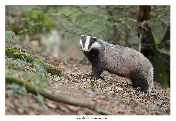 Photo_Blaireau_56 (Blaireaux - Meles meles - Eurasian Badger)