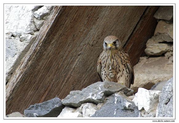 Photo 25 (Faucon crécerelle - Falco tinnunculus - Common Kestrel)