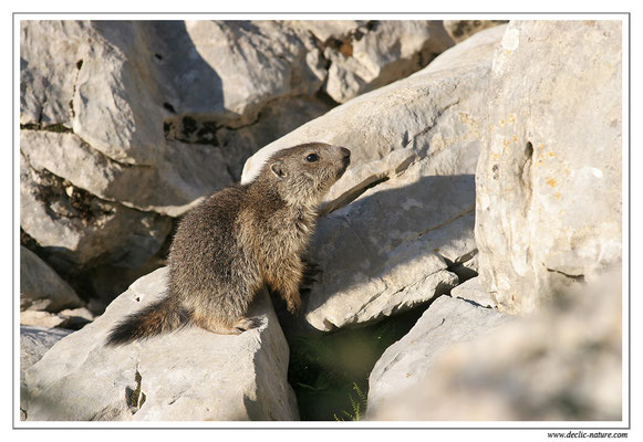 Photo Marmotte_M19