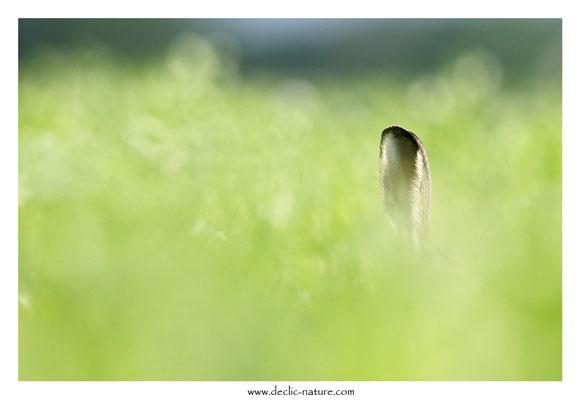 Lièvres - Lepus europaeus - Brown Hare (43)