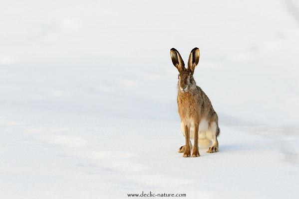 Lièvres - Lepus europaeus - Brown Hare (25)