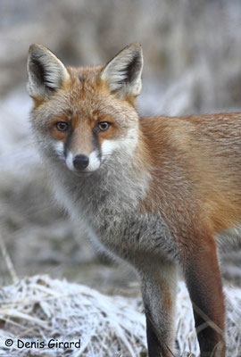 Photo Renard_8 (Renard roux -Vulpes vulpes - Red Fox)