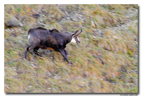 Photo Chamois_9 (Chamois - Rupicapra rupicapra )