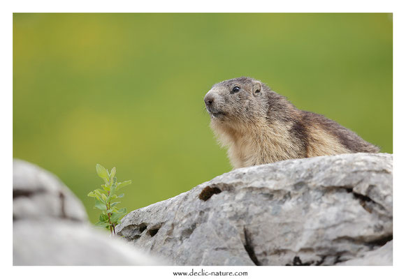 Photo Marmotte_49