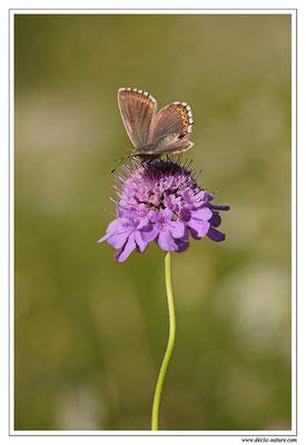 Bleu nacré - Polyommatus coridon (3)