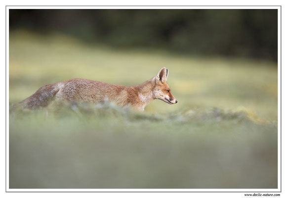 Photo Renard_72 (Renard roux -Vulpes vulpes - Red Fox)