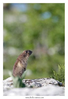 Photo Marmotte_52