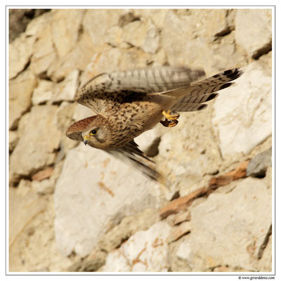 Photo 7 (Faucon crécerelle - Falco tinnunculus - Common Kestrel)