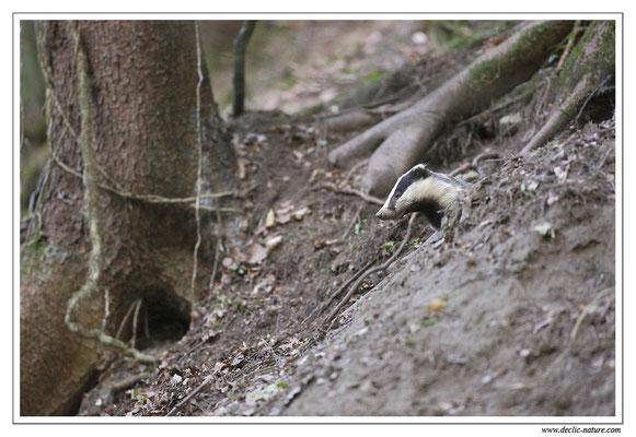 Photo_Blaireau_4 (Blaireaux - Meles meles - Eurasian Badger)