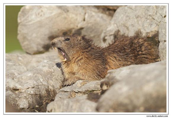 Photo Marmotte_30