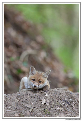 Photo Renard_97 (Renard roux -Vulpes vulpes - Red Fox)