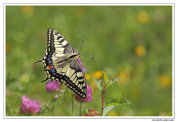 Machaon - Papilio machaon (8)