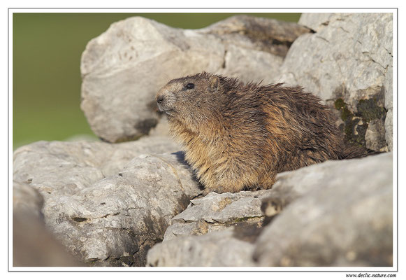 Photo Marmotte_27