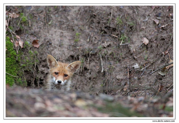 Photo Renard_45 (Renard roux -Vulpes vulpes - Red Fox)