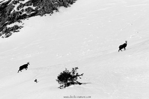 Photo Chamois_34 (Chamois - Rupicapra rupicapra )