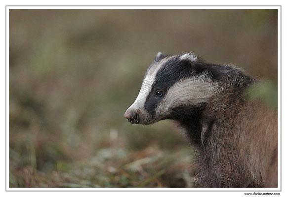 Photo_Blaireau_34 (Blaireaux - Meles meles - Eurasian Badger)