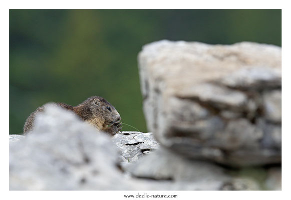 Photo Marmotte_53