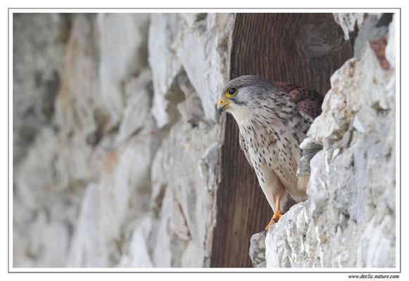 Photo 37 (Faucon crécerelle - Falco tinnunculus - Common Kestrel)