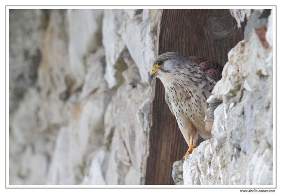 Photo 37 (Faucon crécerelle - Falco tinnunculus - Common Kestrel)