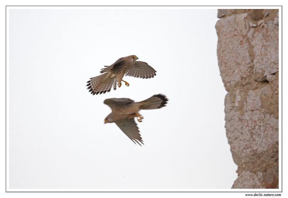 Photo 40 (Faucon crécerelle - Falco tinnunculus - Common Kestrel)
