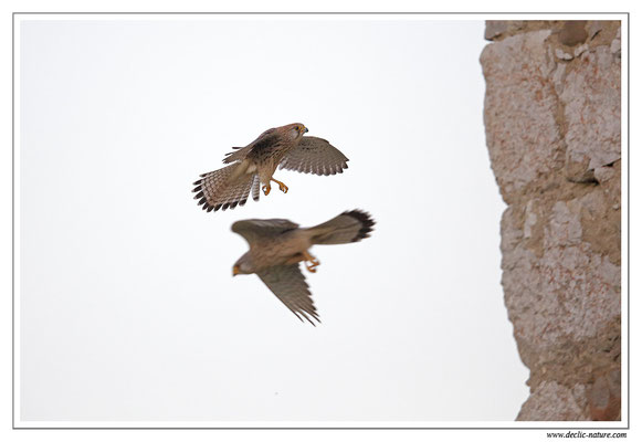 Photo 40 (Faucon crécerelle - Falco tinnunculus - Common Kestrel)