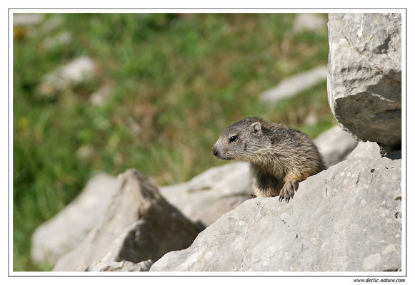 Photo Marmotte_M11