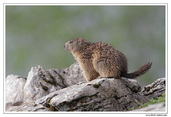 Photo Marmotte_8