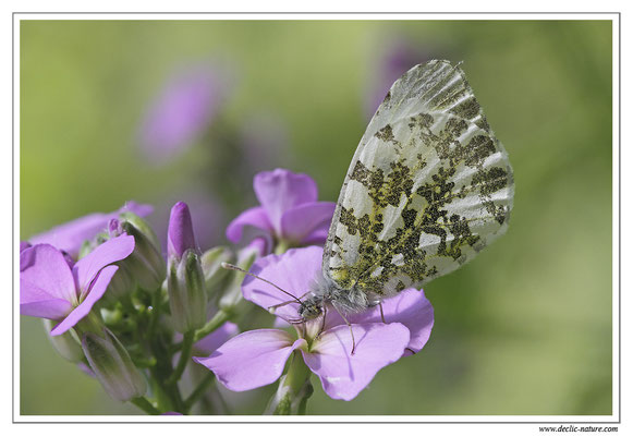 Aurore - Anthocharis cardamines (2)