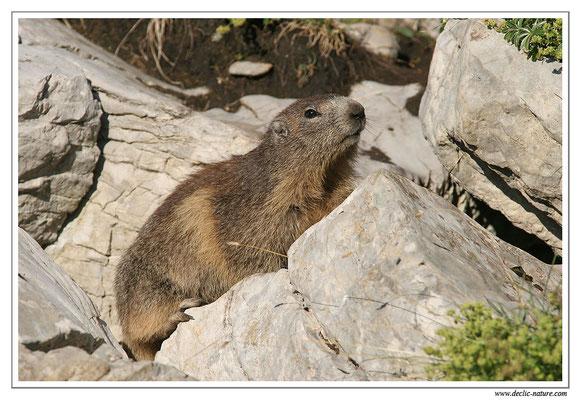 Photo Marmotte_M28