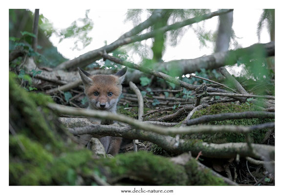 Photo Renard_136 (Renard roux -Vulpes vulpes - Red Fox)