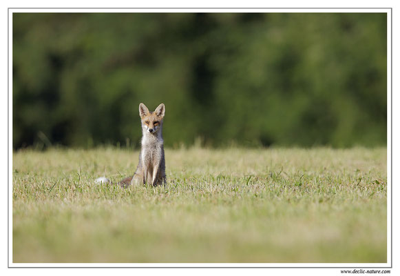 Photo Renard_74 (Renard roux -Vulpes vulpes - Red Fox)