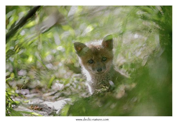 Photo Renard_130 (Renard roux -Vulpes vulpes - Red Fox)
