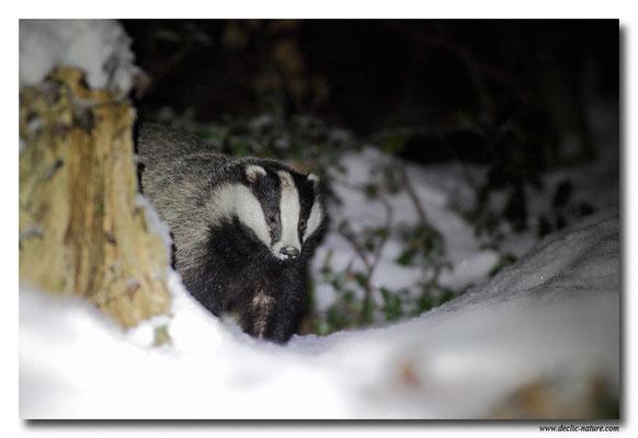 Photo_Blaireau_3 (Blaireaux - Meles meles - Eurasian Badger)