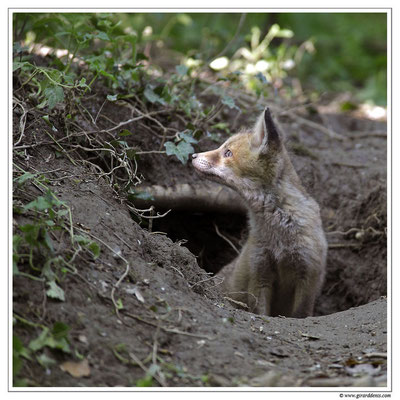 Photo Renard_28 (Renard roux -Vulpes vulpes - Red Fox)
