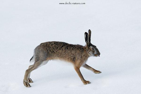 Lièvres - Lepus europaeus - Brown Hare (29)