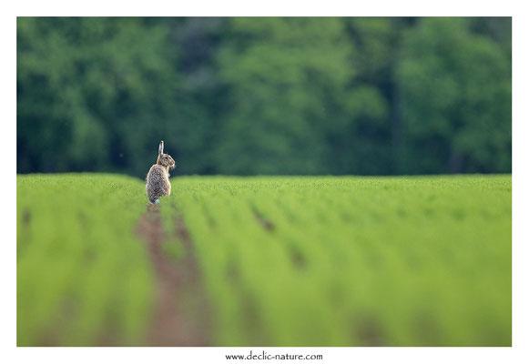 Lièvres - Lepus europaeus - Brown Hare (38)