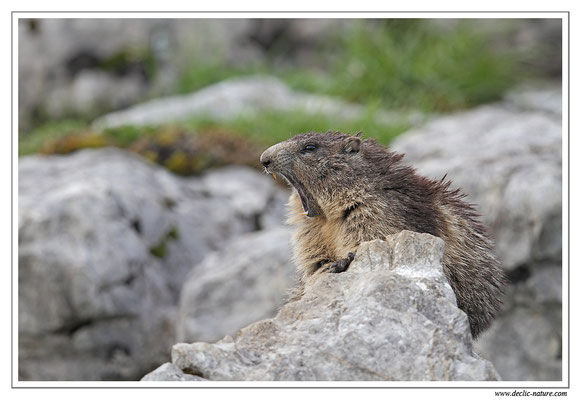 Photo Marmotte_21