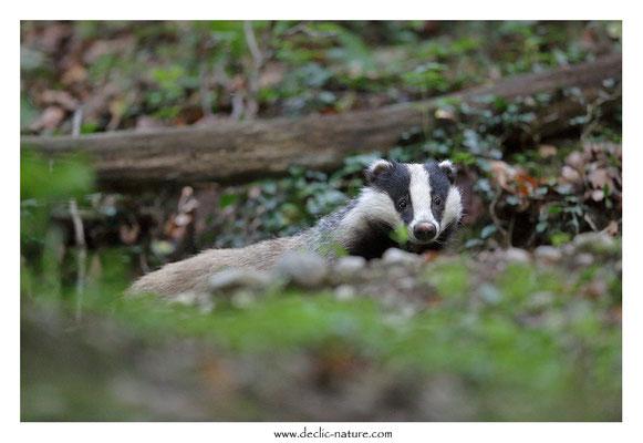 Photo_Blaireau_54 (Blaireaux - Meles meles - Eurasian Badger)