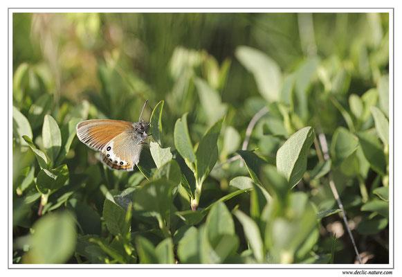 Satyrion - Coenonympha gardetta (1)