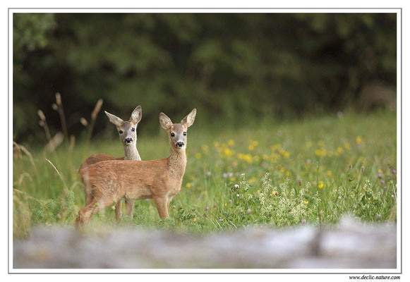 Photo Chevreuil_78 (Chevreuil - Capreolus capreolus - Roe Deer)