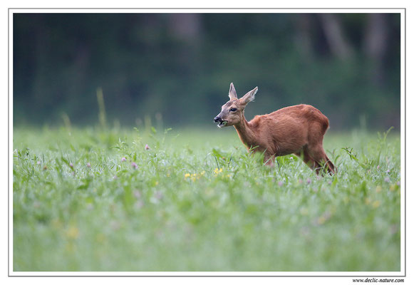 Photo Chevreuil_97 (Chevreuil - Capreolus capreolus - Roe Deer)