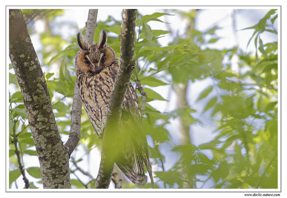 Photo 28 (Hibou moyen-duc - Asio otus - Long-eared Owl)