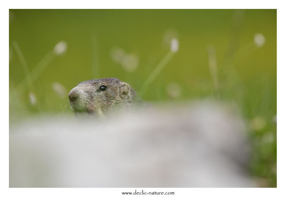 Photo Marmotte_47