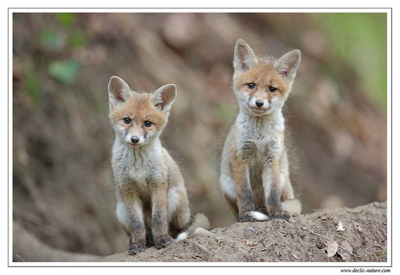 Photo Renard_95Renard roux -Vulpes vulpes - Red Fox)