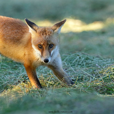 Photo Renard_195 (Renard roux -Vulpes vulpes - Red Fox)