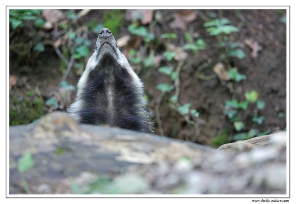 Photo_Blaireau_26 (Blaireaux - Meles meles - Eurasian Badger)