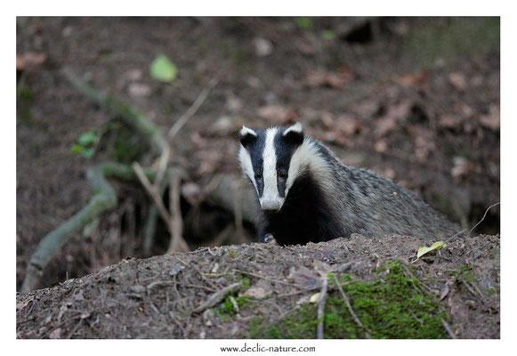 Photo_Blaireau_67 (Blaireaux - Meles meles - Eurasian Badger)