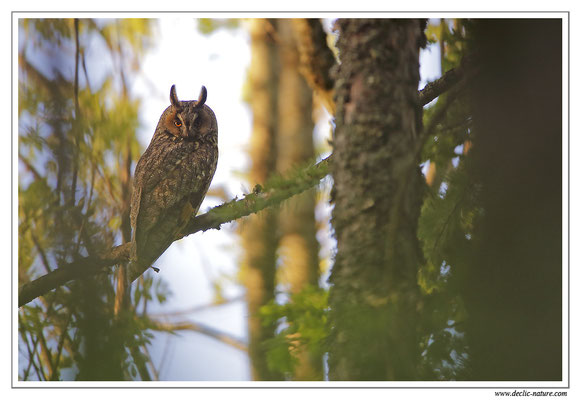 Photo 13 (Hibou moyen-duc - Asio otus - Long-eared Owl)