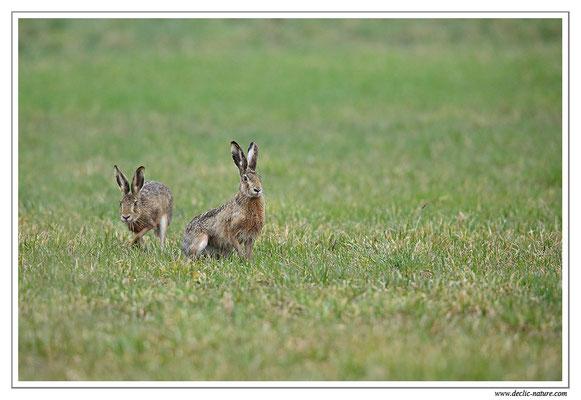 Lièvres - Lepus europaeus - Brown Hare (12)