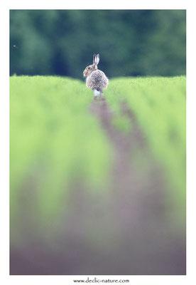 Lièvres - Lepus europaeus - Brown Hare (37)